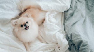 White dog on a bed